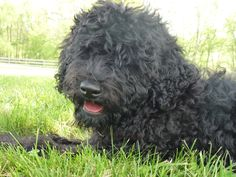 Our Barbet Puppy Solene is 4 Months Old