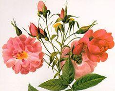 Vintage 1930s Botanical Print Antique BERRIES plant print