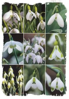 Snowdrop varieties, from 'Gardens Illustrated' magazine.