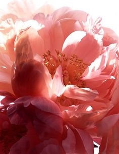 Pretty pink petals of flowers. Pretty In Pink, Pink Flowers, Beautiful Flowers, Pink Petals, Colorful Roses, Planting Flowers, Wedding Flowers, Tree Peony, Peony Rose