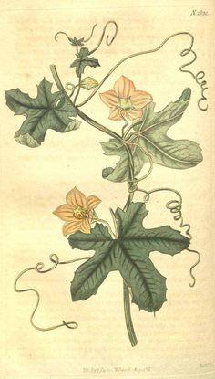 8799 Coccinia quinqueloba (Thunb.) Cogn. [as Bryonia quinqueloba Thunb.]  / Curtis's Botanical Magazine, vol. 43: t. 1820 (1816) [n.a.]