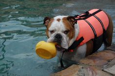 ❤ Butkus taking his rubber ducky for a swim ❤ Posted on Bulldog Pics