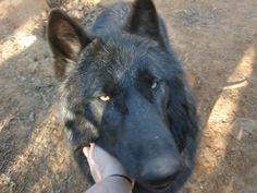 hybrid wolf   Santanna. Wolf Hybrids. Wolf Dog Mixed Puppies since 1973. Separate ...