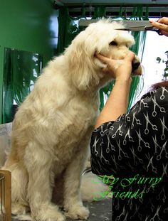 Pet Grooming: The Good, The Bad, & The Furry: Grooming Labradoodles & Goldendoodles
