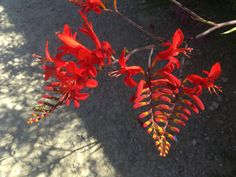 Crocosmia (Montbretia) Crocosmia, Flowers, Plants, Lawn And Garden, Plant, Royal Icing Flowers, Flower, Florals, Floral