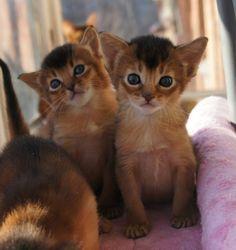 Litter L abyssinian cats #layza