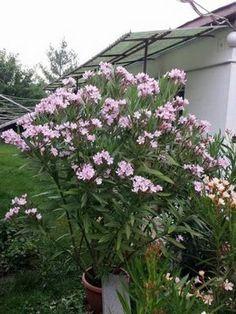 Oleander, Plants, Garden, Flowers, Exterior