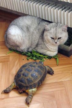 Turtle meets cat.. and he's sitting on the greens man. #turtlecatmeeting