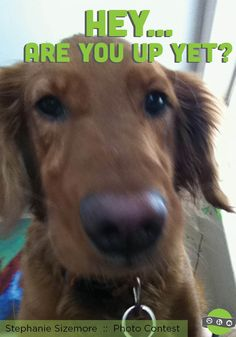 """Funny Dog Pictures! Golden Retriever. """"Like"""" us on Facebook"""