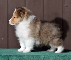 Shetland Sheepdog puppies are so adorable. My next dog (that will make #3 sheltie that I've owned)