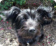 St Louis, MO - Scottie, Scottish Terrier Mix. Meet Dixie, a dog for adoption. http://www.adoptapet.com/pet/17451010-st-louis-missouri-scottie-scottish-terrier-mix