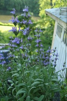 Good old common sage. A must-have herb, sage also provides stunning flowers. Sage prefers full sun.