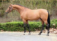 Cumthago C°2008 | Holstein | bay | 1m70 MY DREAM HORSE!