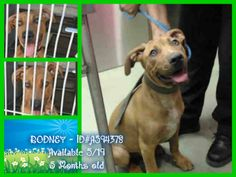 RODNEY - ID#A594378 (available 5/19) I am a male, red and white Pit Bull Terrier about 5 months old. He's so affectionate and sweet! He belongs in a home, not in this high kill shelter. Let's get him adopted ASAP on Monday! Devore Shelter, San Bernardino, CA https://www.facebook.com/118795328205474/photos/pb.118795328205474.-2207520000.1400260612./636949329723402/?type=3&theater
