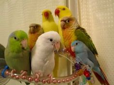 Parrotlets hanging out with a Conure and an Indian Ringneck, such sweet birdies!!