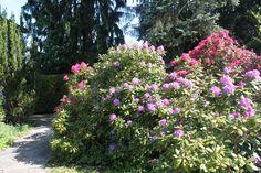 Der Rhododendron in voller Blütenpracht