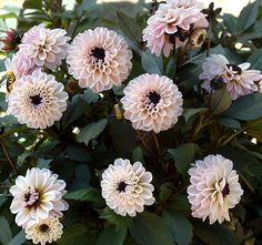 """Henry Height - 1' Blooms - 2"""" Form - Peony  Lavender petals with strikingly dark centers and nearly black foliage. Low profile plants are easily managed and will spread through the season."""