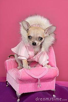Fashion chihuahua dog barbie style pink armchair by Lunamarina, via Dreamstime