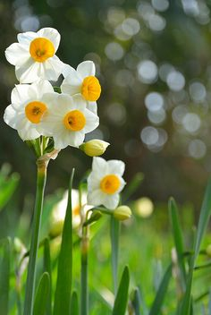 prettylittleflower:  Narcissus by yamabuki*** on Flickr.
