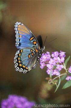 Bleu Painted Lady ~ Science Photo Library