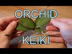 "▶ Repotting an Orchid Keiki - Phalaenopsis Orchid Keiki - YouTube. An orchid keiki (Hawaiian for ""baby"") is a baby orchid plant that often (but not always; sometimes they grow at the base of the plant) grows on the flower spike of its mother plant."