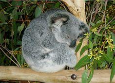 #well-behaved #koala