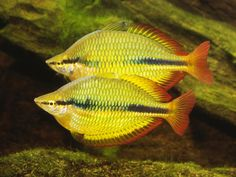 Summary: A sight of an Aquarium with all the colorful fishes is a sight to behold. Now, with internet, you can also buy tropical fish online. Tropical Fish Aquarium, Nature Aquarium, Freshwater Aquarium Fish, Fish Aquariums, Glass Aquarium, Aquarium Ideas, Tetra Fish, Fish List, Fish Breeding
