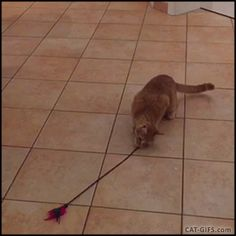 """Animated Cat GIF • Meanwhile in Turkey 'Whirling Dervish' Cat is whirling. """"Excuse me, but… whatcha doing?"""""""