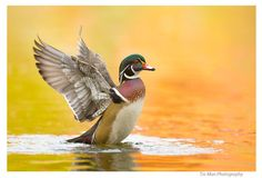 Happy Wood Duck in Golden Water by Tin Man on 500px