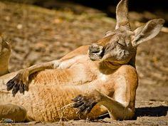The tired kangaroo