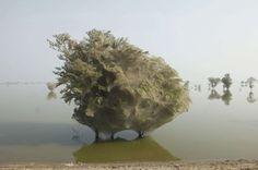 Pakistan - Après de fortes pluies, des milliers d'araignées forment un toit de soie sur les arbres pour fuir les inondations - 2011