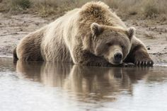 Grizzly Bear Sleeping On Shore, Katmai National Park, Alaska by Breiter, Matthias - Wall Art Giclee Print or Canvas
