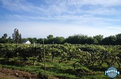 Vineyards on South Bass Island, Put-in-Bay Ohio, Via @Jaunted. Every fall, these vines fill the air with a sweet, heady fragrance. In mid fall, the ripened grapes are hand picked for Heineman's Winery, Put-in-Bay