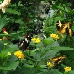 La ferme aux papillons...