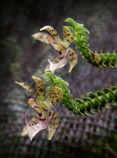 Dichaea hystricina | Flickr - Photo Sharing!