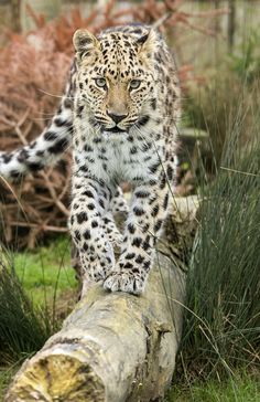 Amur Leopard by Colin Langford on 500px