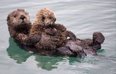 #Baby Sea #Otter with its #mother