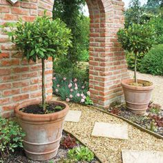 Topiary Bay Laurel trees planted in big terra cotta pots. (I'd love to have at LEAST one Bay Laurel tree in my backyard since I love to cook. Garden Trees, Garden Planters, Trees To Plant, Potted Trees Patio, Potted Plants, Back Gardens, Small Gardens, Outdoor Gardens, Bay Laurel Tree