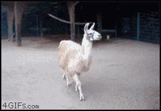 Lama is fabulous!