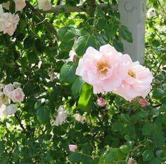 14 - Befintilig rosbuske. Sort okänd.
