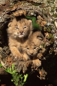 , Lynx. Europe, Asia and North America.