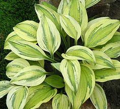 Captains Adventure Hosta Height: Bulb Size: No 1 Naturalizing: Yes Perennializing: Yes Grow In Containers: Yes Hardiness Zone: 3 - 8 Suitable Zone: 3 - 9 Planting Time: Spring Planting Depths: Planting Spacing: Hosta Plants, Shade Perennials, Foliage Plants, Shade Plants, Garden Plants, Outdoor Plants, Outdoor Gardens, Plantain Lily, Hosta Varieties