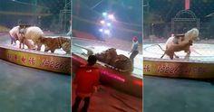 В китайском цирке на репетиции представления лев и тигр напали на лошадь.