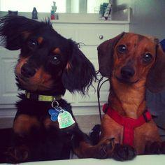 Dachshund – Friendly and Curious Cute Puppies, Cute Dogs, Dogs And Puppies, I Love Dogs, Puppy Love, Weenie Dogs, Doggies, Mini Dachshund, Daschund