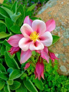 June 2012 Columbine - my garden