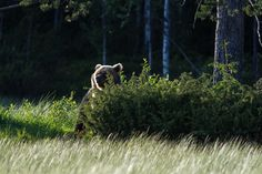 Bear - Kuusamo, Finland, July 2012 Heikki Rantala - propluto.kuvat.fi