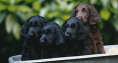 Wagging Tails, flatcoated retrievers | puppies