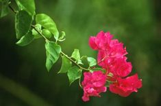 How to Propagate Bougainvillea From Seed