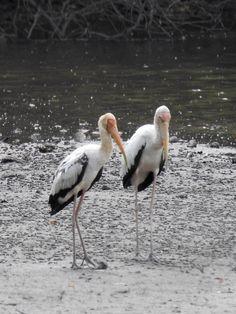 Milky Storks @ Sungei Buloh Wetland Reserve, Singapore