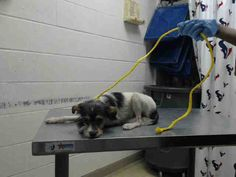 04/05/16--HOUSTON- -EXTREMELY HIGH KILL FACILITY -This DOG - ID#A456098 I am a male, black and brown Yorkshire Terrier. The shelter staff think I am about 5 weeks old. I have been at the shelter since Apr 05, 2016. This information was refreshed 8 minutes ago and may not represent all of the animals at the Harris County Public Health and Environmental Services
